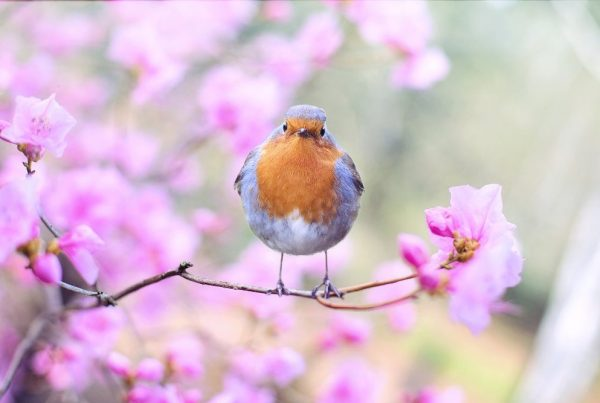robin standing on branch of flowering tree